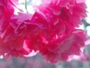 大同鄉櫻花季